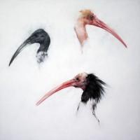 Justin Coburn Ibis Heads
